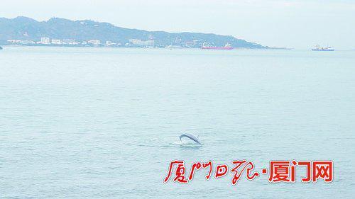 """厦门湾海域水质优良 吸引白海豚""""一家子""""前来畅游"""