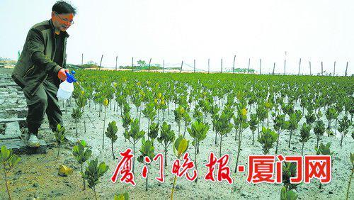 厦大嘉庚学院高级实验师孙红专为红树林喷施生长素。黄文水摄