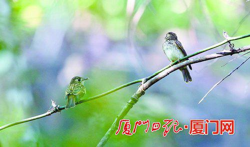 褐胸鹟现身天竺山 首次记录在厦繁育