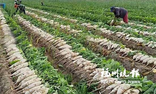 当地农户在盐池县的基地内采收白萝卜。