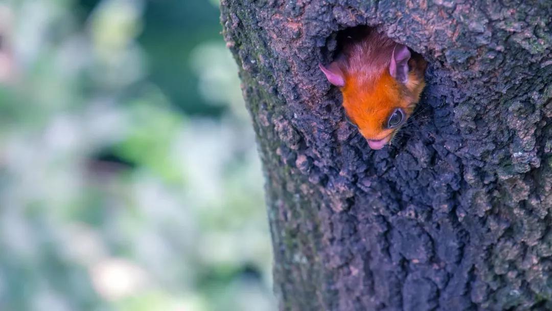 午后莲花山栈道旁,一只鼯鼠将头探出树洞之外| 老藤 摄