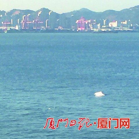 白海豚身影出现在演武大桥桥墩下。(读者黄先生供图)
