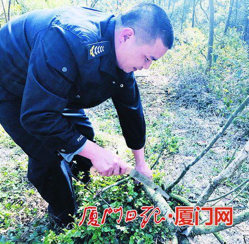 高春江在清理枯枝。(本报记者黄雪燕摄)