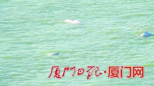 白海豚成群出现。