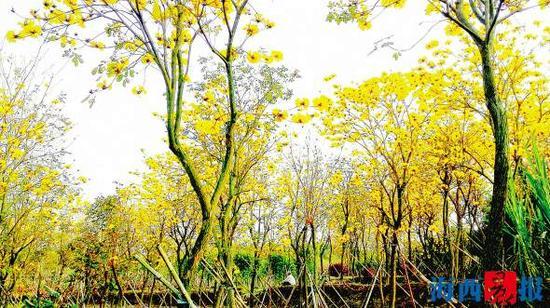 即将迎来开花旺季的黄花风铃木。