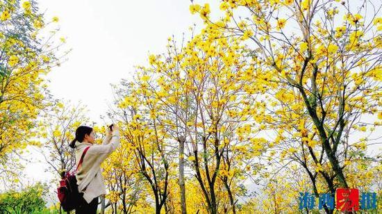 黄花风铃木陆续绽放枝头。