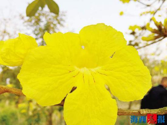 盛开的黄花风铃木花朵犹如小喇叭。
