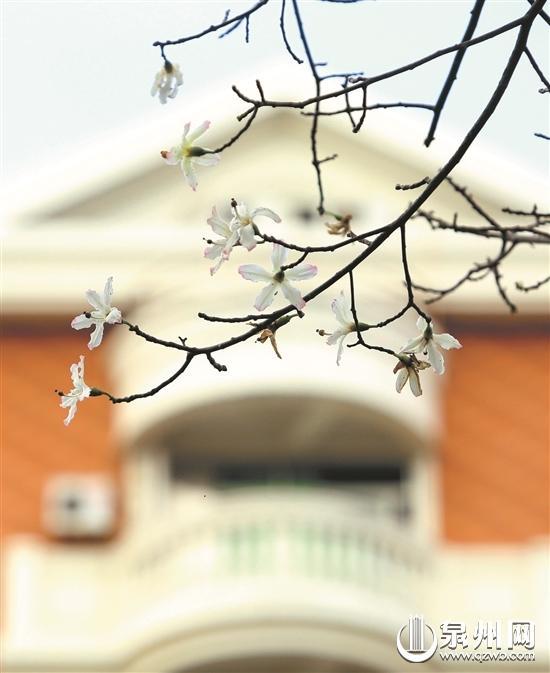 白色紫荆花