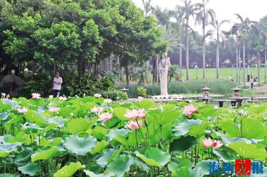 莲花公园又见荷花大面积盛开。记者 唐光峰 摄