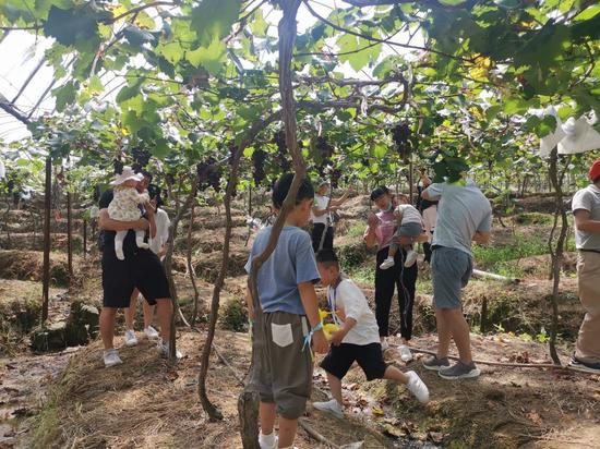 游客们争相采摘寿宁葡萄