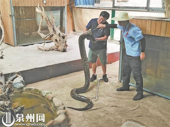 巨蟒吞食黑山羊 民警化身捕蛇者