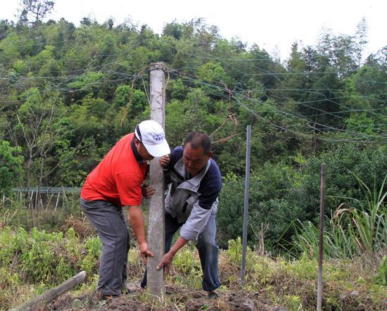 吊瓜种子下地之后发芽之前,农民正在修复支架。 肖和勇 摄