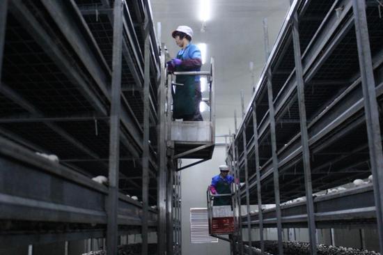 图为工人在智能化工厂中采摘蘑菇