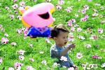 福州花海公园内波斯菊竞相绽放 游客细赏或拍照
