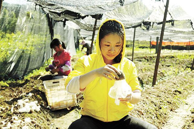 龙岩长汀食用菌合作社 带动全村贫困户增收脱贫