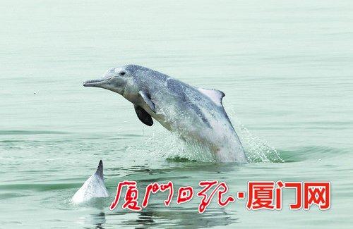 中华白海豚在厦门海域嬉戏遨游。
