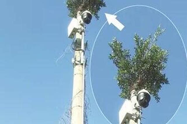 漳浦这棵榕树长在十米高空 屹立电线杆头不倒