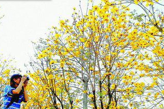钱柜娱乐同安黄花风铃木开满山坡 阳春三月踏青赏花