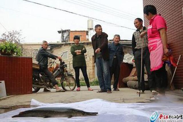 晋江内坑现一条大怪鱼 系世界十大猛鱼之一雀鳝