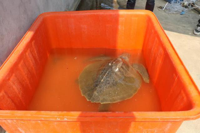 渔民误捕国家二级保护动物玳瑁,东山边防放生