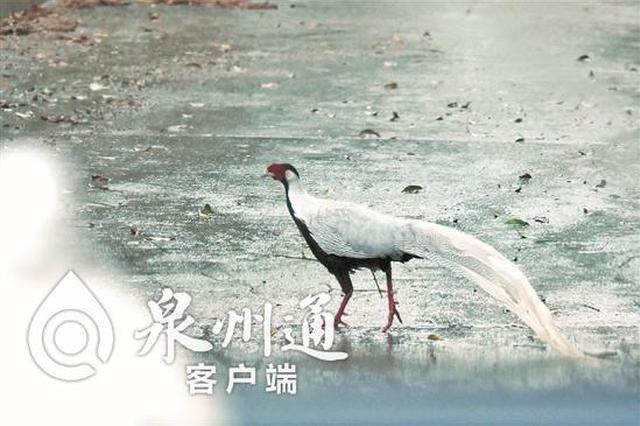 """""""山中仙子""""雨中漫步 """"国保""""野生白鹇现身德化"""