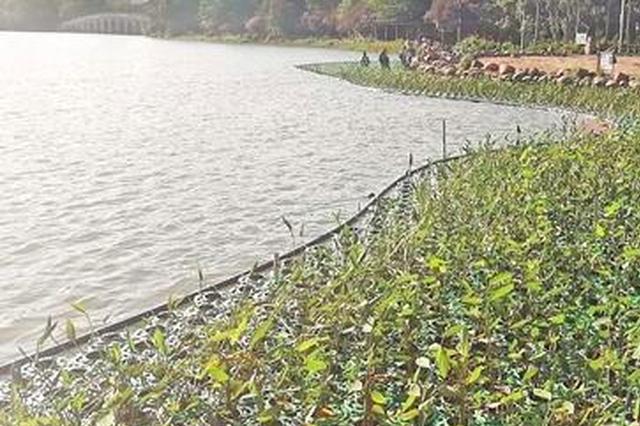 泉州西湖公园铺设440平方米生态浮岛 摇曳的绿浪