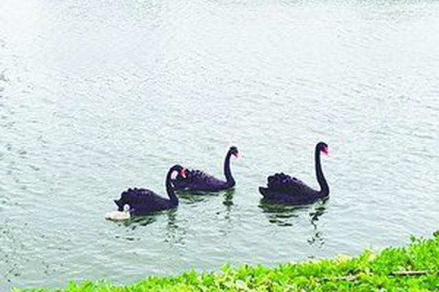 厦门:国家会计学院大蟒蛇缠斗黑天鹅 黑天鹅被勒死