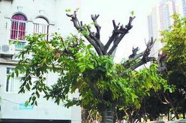 厦门一物业砍树遭业主质疑 日头火辣辣大树光秃秃