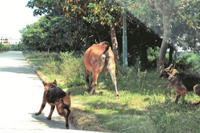 泉州:牧羊犬脱绳失控咬死两只山羊 还伺机攻击大黄牛