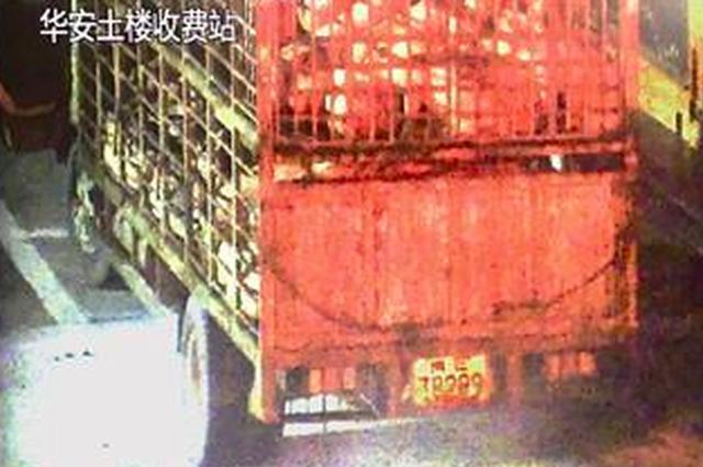 漳州一运生猪货车高速路上自燃 一车生猪险成烤全猪