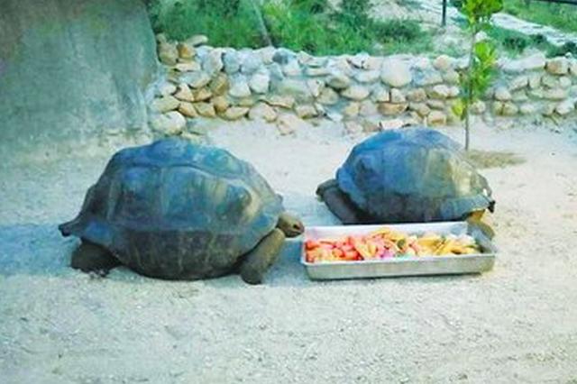 三只象龟从非洲来厦门 平均寿命超过200岁