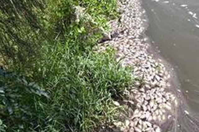 厦门五缘湾天鹅湖死鱼成群 疑因高温天气所致