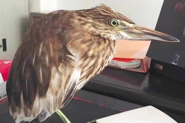"""泉州市民捡到受伤""""怪鸟"""" 竟是国家保护动物池鹭"""