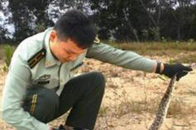 漳州一蟒蛇被渔网困住 相关部门解救后放生