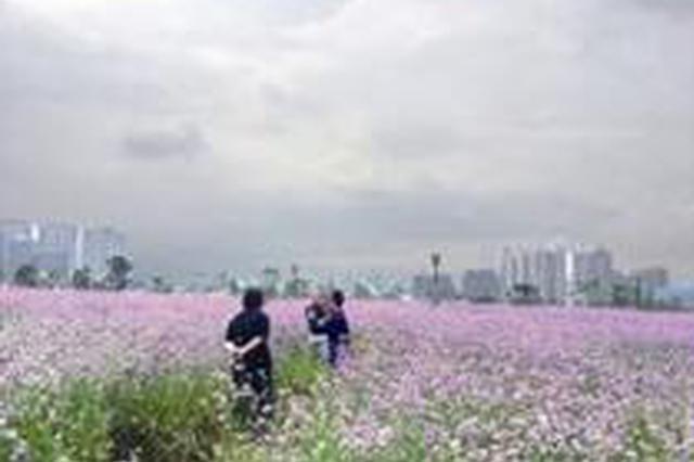 龍巖:公園20畝紫色花海遭踐踏 管理人員勸阻還被嗆聲