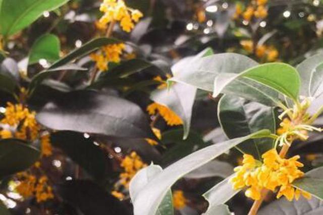 福州城區里數百棵桂花樹盛開 金桂飄香沁人心脾
