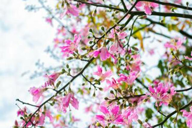 泉州美人樹花開滿街 構成一幅極致的浪漫街景