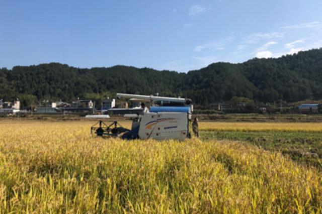 闽机收再生稻再生季产量再创新高 平均亩产470.4公斤