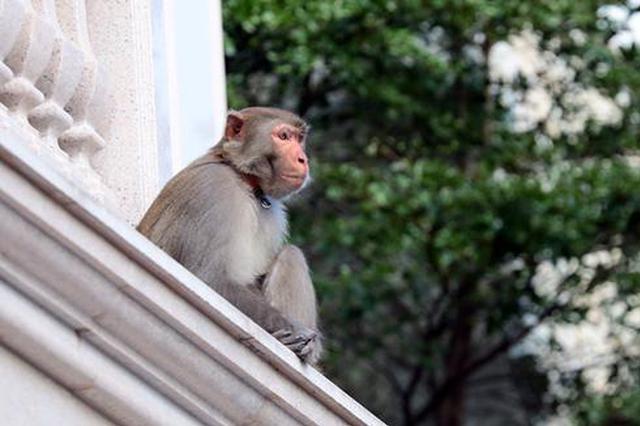 石狮一流浪猴频繁扰民 追车伤人闯民宅人猴矛盾升级