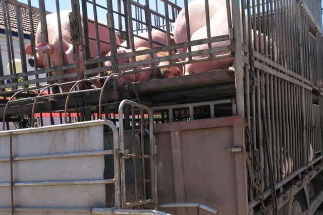 漳州芗城首次颁发生猪运输车辆备案表 18部车辆备案