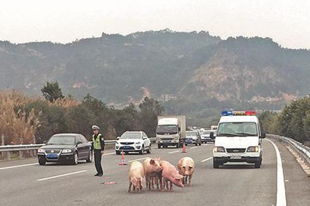 """泉州一非法""""运猪车""""超载爆胎 高速公路现暴走猪群"""