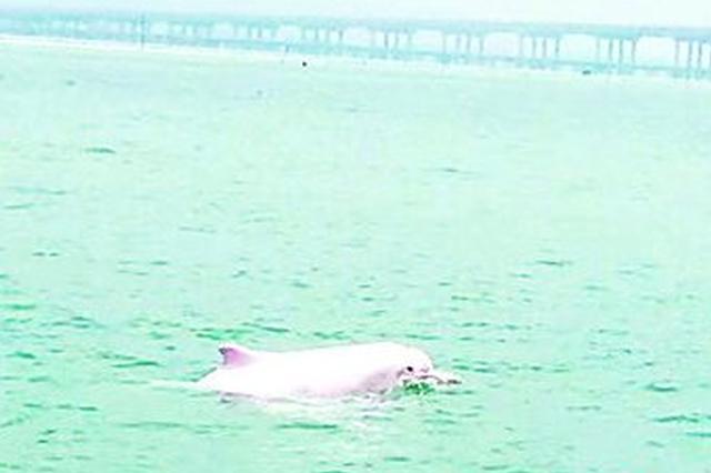 漳江口再现中华白海豚 海域环境优良生物丰富多样