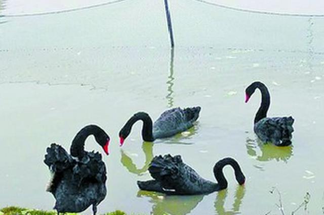 厦大芙蓉湖畔黑天鹅忙孵化 校方设提示牌围出产房