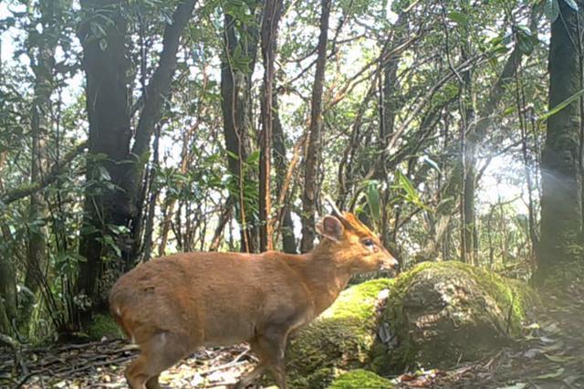 武夷山国家公园首次发布动物监测影像 赤麂活动频繁