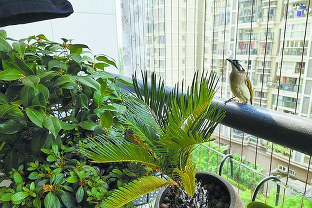 厦门:鸟儿阳台筑巢安家 十岁男孩悉心照顾
