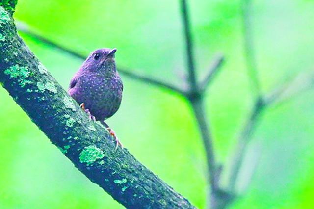 丽星鹩鹛现身同安 厦门野生鸟类鸟种纪录刷新