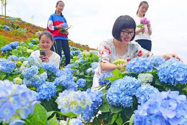 泉州永春绣球花开放 吸引众多游客观赏(图)
