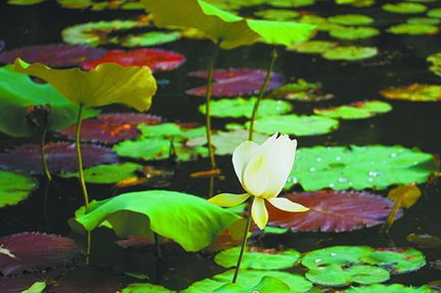 小荷又露尖尖角:厦门各公园荷花将绽 花期至8月底