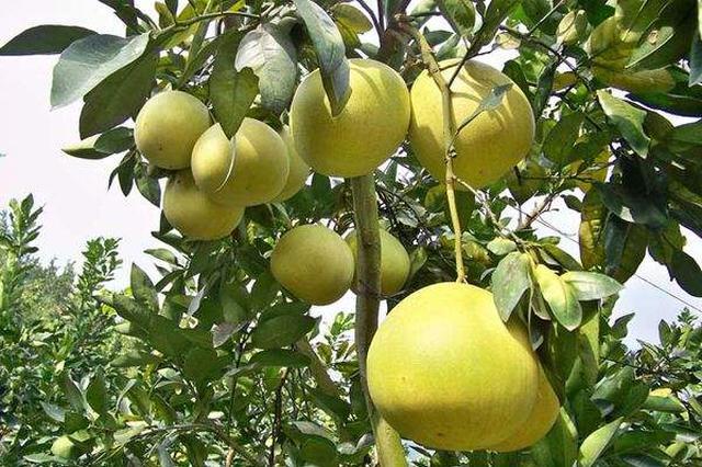 漳州平和出台19条措施 促进蜜柚产业高质量发展