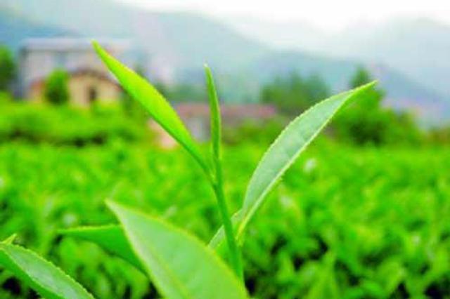 漳州平和白芽奇兰茶品牌价值逾25亿元 位列全国第22名